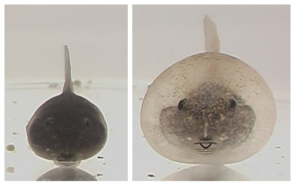 Bulgy+Typical+tadpoles